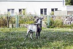 Cabra gris joven en prado cerca de la casa Fotos de archivo