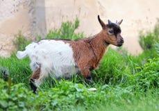 Cabra holandesa pequena na natureza fotos de stock royalty free