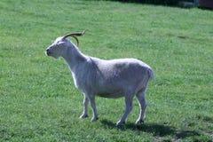 Cabra horned Imagens de Stock Royalty Free