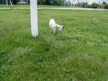 A cabra horned branca come a grama em um esclarecimento entre a vila Imagens de Stock Royalty Free