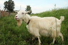 A cabra hornless Imagens de Stock Royalty Free
