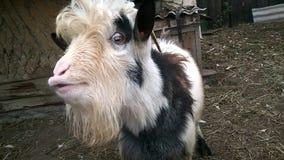 A cabra hornless Imagem de Stock