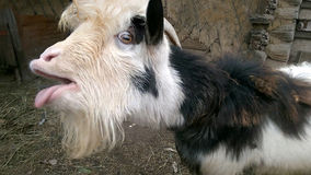 A cabra hornless Foto de Stock