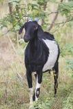 Cabra indiana que está o arbusto próximo Fotos de Stock Royalty Free