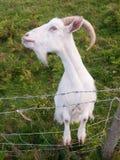 Cabra irlandesa blanca Imagenes de archivo