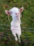 Cabra irlandesa blanca Imagen de archivo libre de regalías