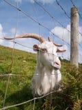 Cabra irlandesa blanca que mira a través de una cerca Fotos de archivo