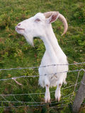 Cabra irlandesa branca Imagens de Stock