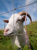 Cabra irlandesa branca que olha através de uma cerca Fotos de Stock Royalty Free