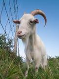 Cabra irlandesa branca que olha fixamente na câmera Imagem de Stock