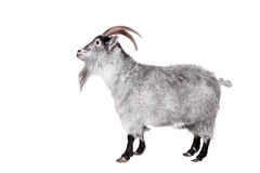 Cabra isolada no branco Fotos de Stock