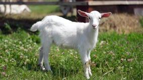 Cabra joven agraciada que pasta en un prado, mirando directamente en la cámara almacen de video
