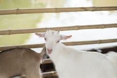 Cabra joven en granja Imágenes de archivo libres de regalías