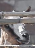 Cabra joven en las cañas fotografía de archivo