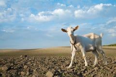 Cabra joven que busca una hierba fresca Fotos de archivo
