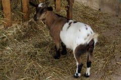 Cabra joven que come el heno en la granja Imagenes de archivo
