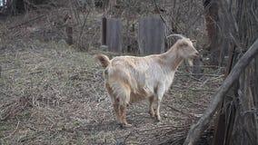 Cabra ligera adulta con el pelo largo y empujes curvados de los cuernos en el fondo del zarzo metrajes
