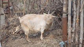 Cabra ligera adulta con el pelo largo y los cuernos curvados que mastican el heno contra la perspectiva de zarzo almacen de video