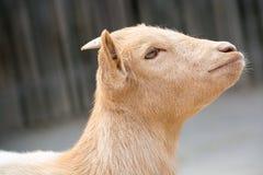Cabra linda del muchacho en una granja Foto de archivo