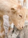 Cabra linda del muchacho en una granja Imágenes de archivo libres de regalías