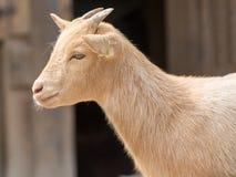 Cabra linda del muchacho en una granja Fotos de archivo libres de regalías