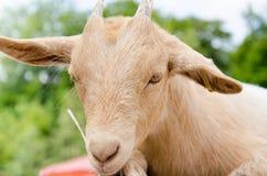 Cabra linda del muchacho en una granja Imagen de archivo libre de regalías
