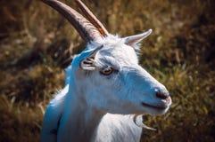 Cabra linda en el campo imágenes de archivo libres de regalías