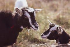 Cabra linda en un campo, primer foto de archivo libre de regalías