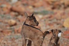 Cabra linda estupenda del bebé que equilibra en una roca Imagen de archivo libre de regalías