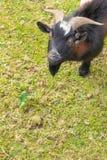 Cabra marrón blanca negra en la hierba en el jardín Fondo imagenes de archivo