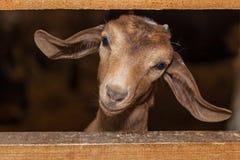 Cabra marrom pequena Fotografia de Stock