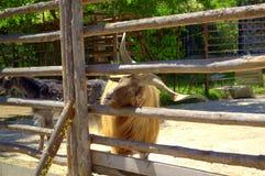 Cabra masculina curiosa Imagen de archivo