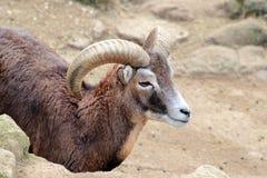 Cabra masculina de la isla de Montecristo (hircus del aegagrus del Capra) Fotos de archivo