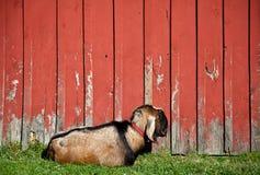 Cabra masculina el dormir foto de archivo libre de regalías