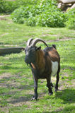 Cabra masculina en el parque zoológico Imágenes de archivo libres de regalías