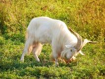 Cabra masculina que come la hierba Fotografía de archivo