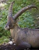 Cabra montés alpestre 2 foto de archivo libre de regalías