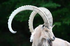 Cabra montés alpestre fotografía de archivo libre de regalías