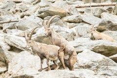 Cabra montés alpestre Fotografía de archivo