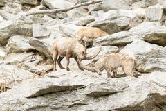 Cabra montés alpestre Foto de archivo libre de regalías