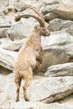Cabra montés alpestre imagen de archivo libre de regalías
