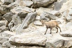 Cabra montés alpestre Foto de archivo
