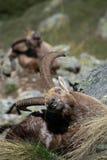 Cabra montés alpestre Imagen de archivo