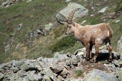 Cabra montés alpestre Fotos de archivo libres de regalías