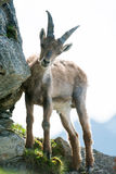 Cabra montés alpestre joven (lat. Cabra montés del Capra) imagen de archivo libre de regalías