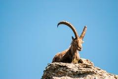 Cabra montés alpestre masculino imagen de archivo libre de regalías