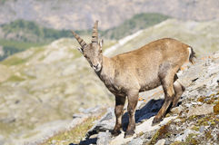 Cabra montés alpestre - Steinbock imagenes de archivo