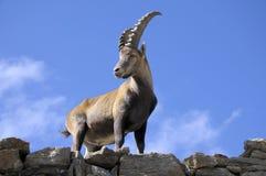 Cabra montés alpestre - Steinbock fotografía de archivo libre de regalías