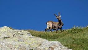 Cabra montés alpino curioso Imagenes de archivo
