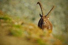 Cabra montés alpino de la asta, cabra montés del Capra, retrato ocultado del animal salvaje con las rocas coloreadas en el fondo, imágenes de archivo libres de regalías